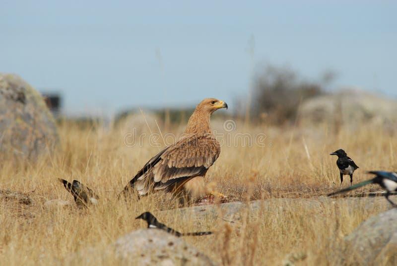 Download Jovens Imperiais Da águia No Campo Com Os Magpies Imagem de Stock - Imagem de pássaro, dourado: 29845565