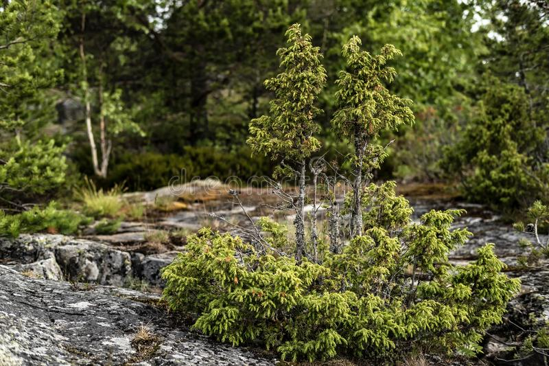 Um juniperus sempre-verde pequeno do zimbro que cresce em uma rocha, contra um fundo das árvores fotos de stock