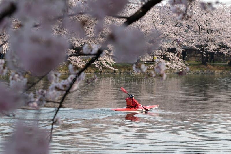 Um kayaker rema em um fosso como as flores de cerejeira japonesas estão na flor completa, Japão fotos de stock royalty free