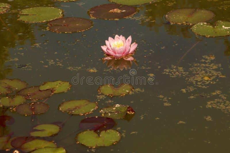 Um lírio de água cor-de-rosa com um meio amarelo-branco entre as folhas é refletido em uma lagoa pequena fotos de stock