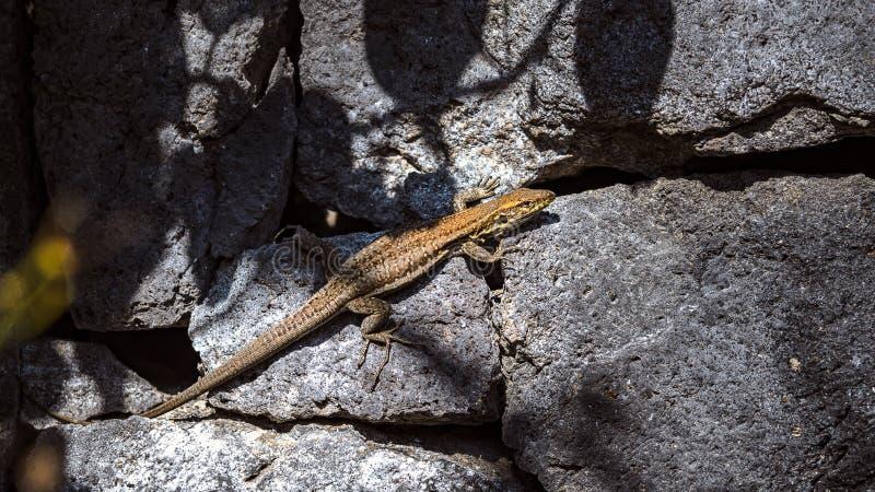 Um lagarto amarelo aquece-se no tempo morno nas pedras mornas imagens de stock royalty free