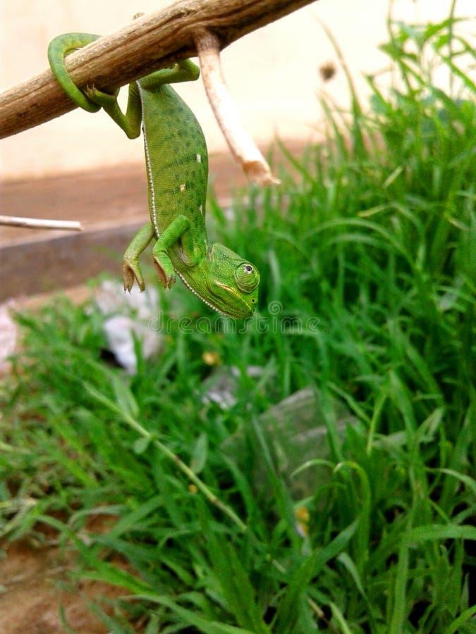 Um lagarto bonito fotografia de stock