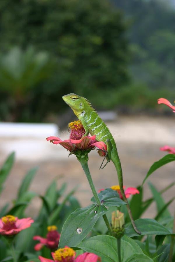 Um lagarto bonito do jardim foto de stock