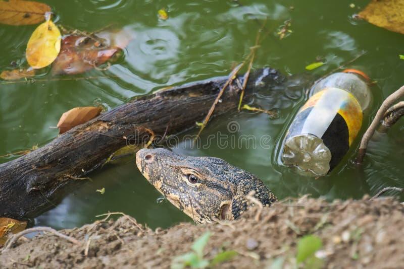 Um lagarto de monitor surpreendido, saindo de seu furo do lago-banco, entre algum lixo de flutuação fotografia de stock