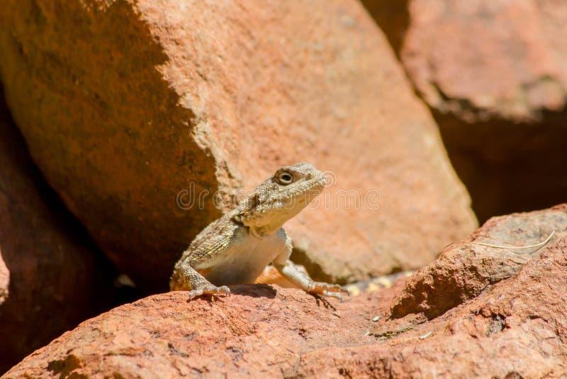 Um lagarto em rochas vermelhas imagens de stock
