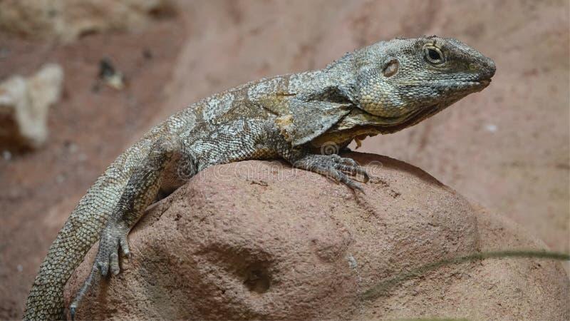 Um lagarto franzido-necked foto de stock royalty free