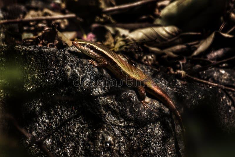 Um lagarto na rocha fotos de stock royalty free