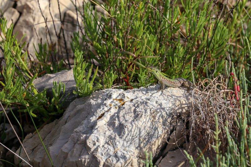 Um lagarto verde senta-se em uma rocha imagem de stock royalty free