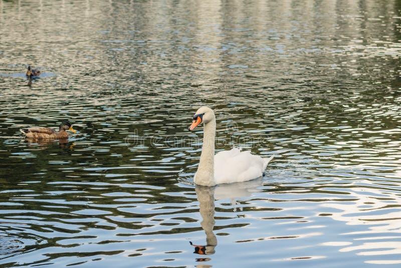 Um lago bonito para pássaros Cisnes brancas elegantes com bicos preto-alaranjados e os patos selvagens pequenos cinzentos e verde foto de stock royalty free