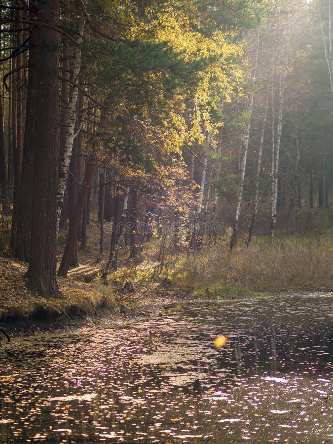 Um lago pequeno com pinhos e vidoeiros na costa na floresta do outono imagens de stock royalty free