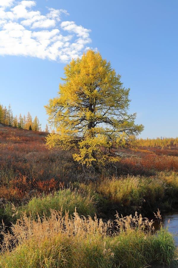 Um larício só no outono no ártico de Rússia imagens de stock royalty free