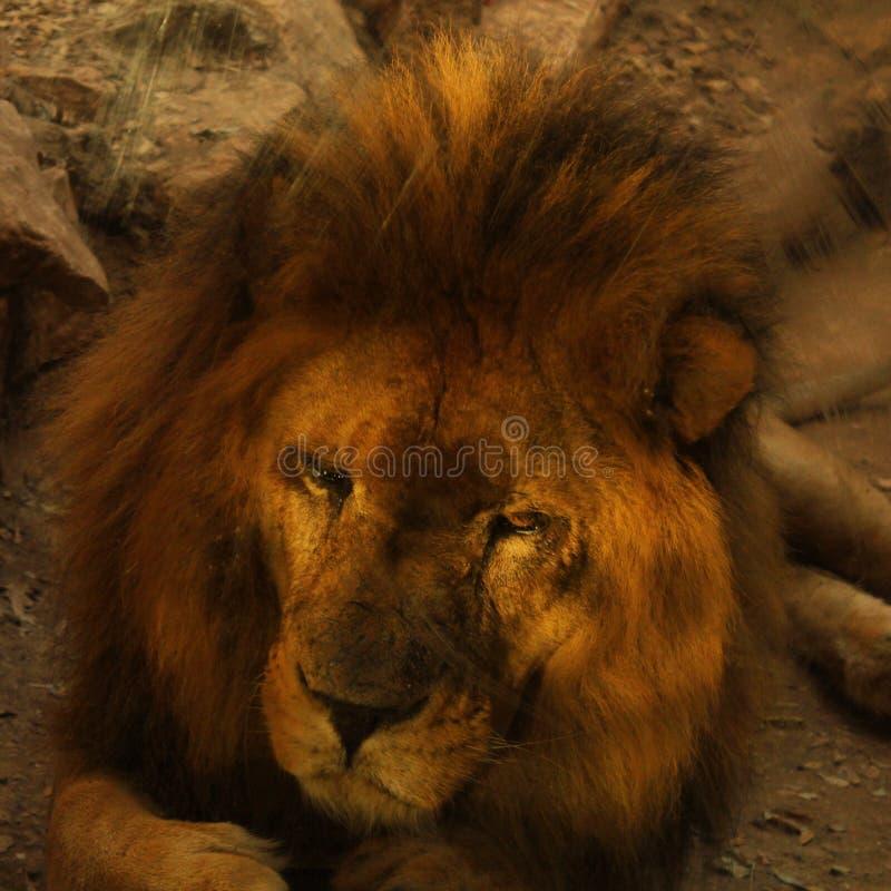 Um leão foto de stock