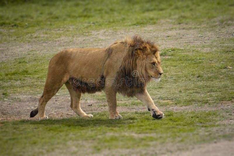 Um leão anda através da pastagem foto de stock