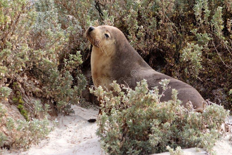 Um leão de mar fêmea do mamífero na baía do selo na ilha do canguru fotografia de stock