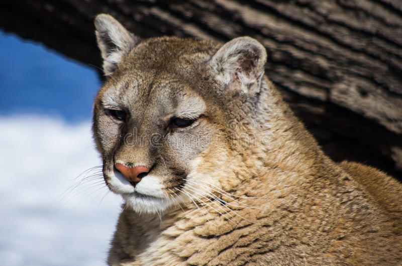 Leão de montanha fotografia de stock