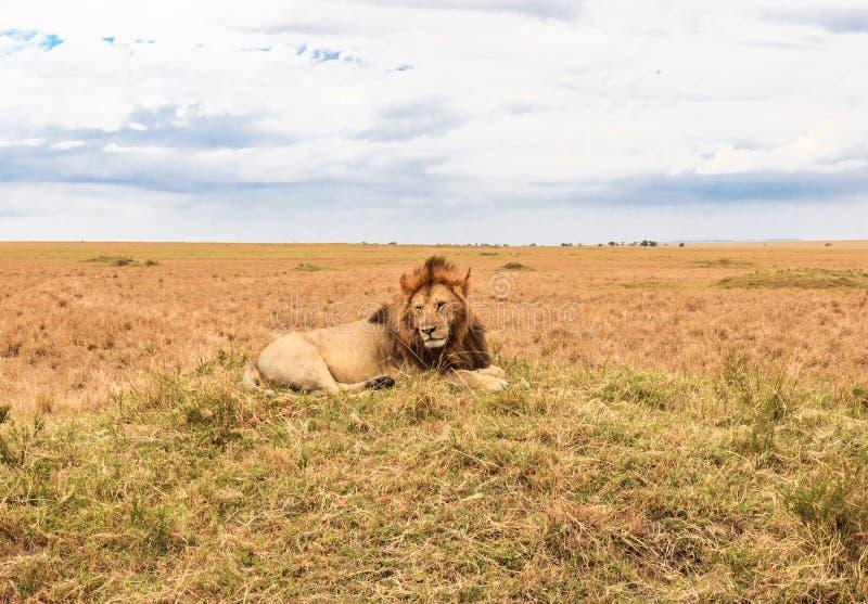 Um leão enorme do sono Savana do Masai Mara, Kenya imagens de stock