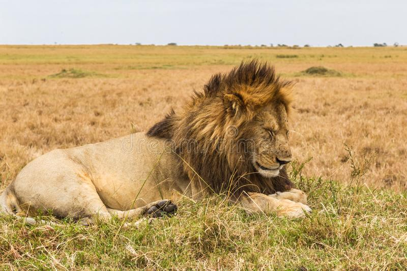 Um leão enorme que descansa em um monte Savana do Masai Mara, Kenya foto de stock royalty free