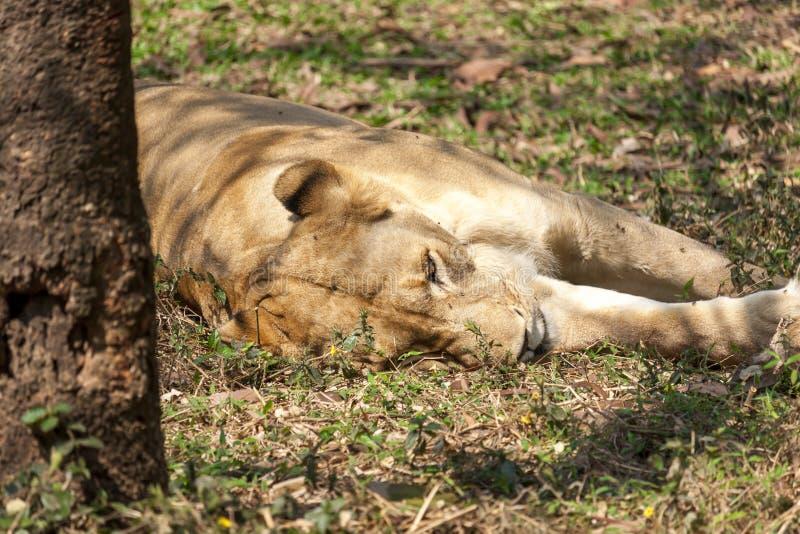 Um leão está dormindo foto de stock
