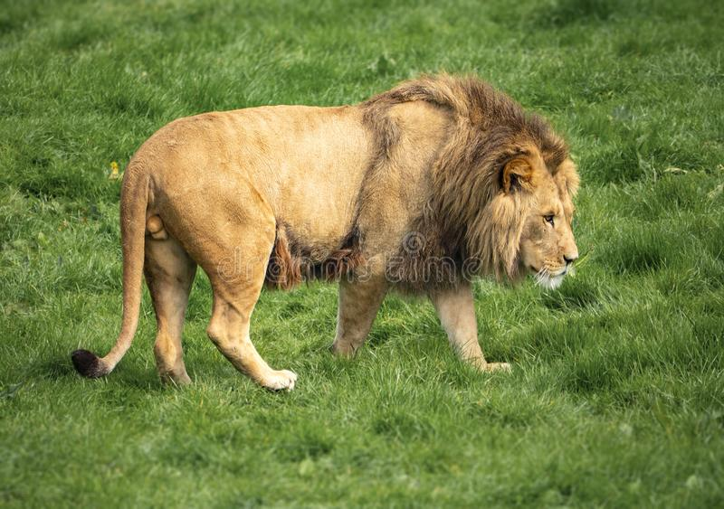 Um leão gerencie ao para fora desengaçar fotos de stock royalty free