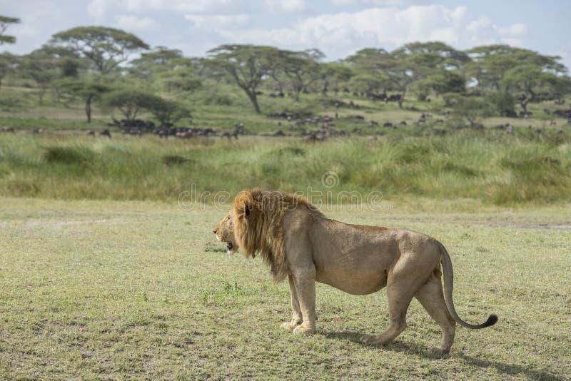Um leão masculino na área de Ndutu, Tanzânia imagem de stock