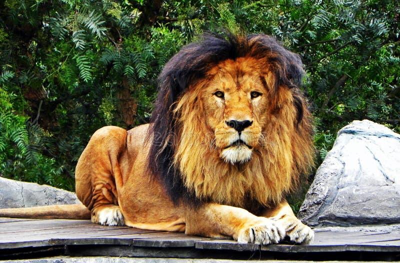 Um leão masculino que olha fixamente para a frente fotos de stock
