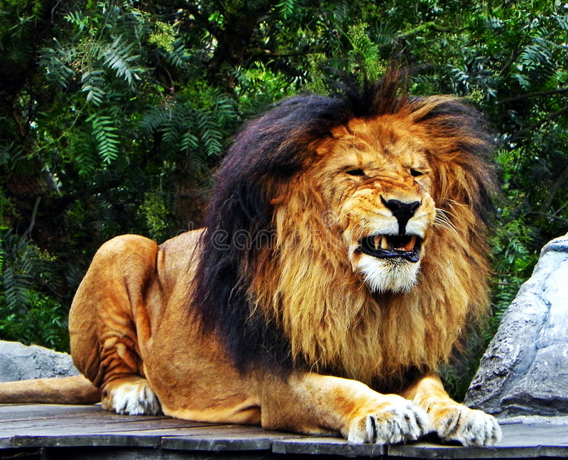 Um leão masculino que puxa os dentes imagens de stock