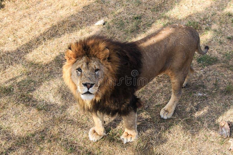 Um leão Natureza selvagem bestas foto de stock