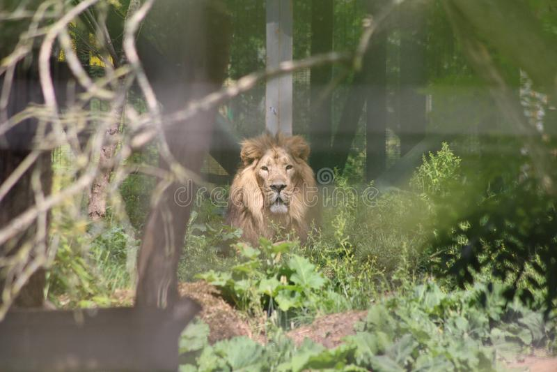 Um le?o que olha fixamente para fora das madeiras foto de stock