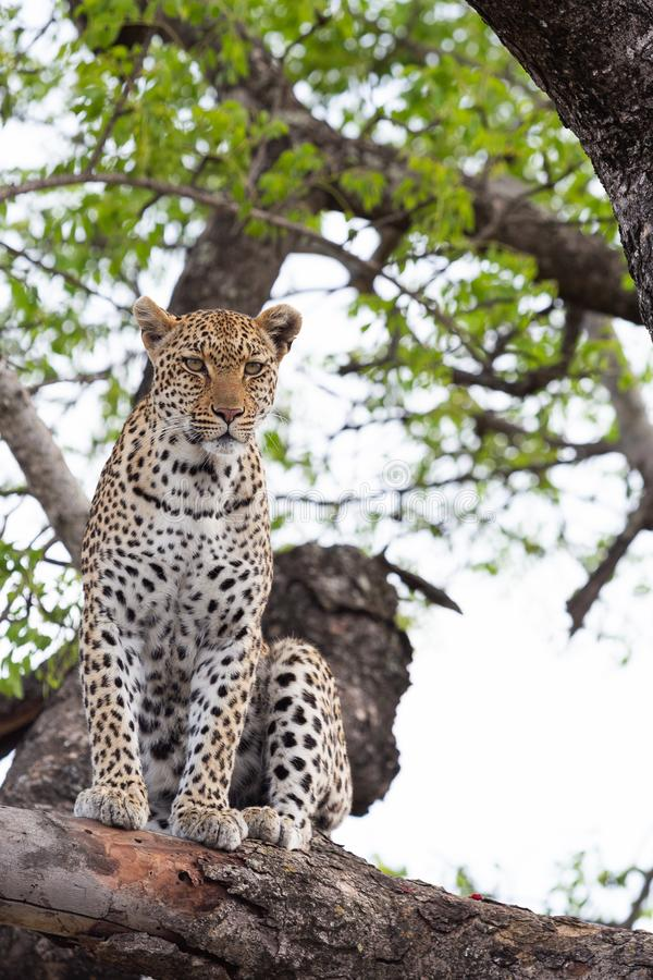 Um leopardo fêmea senta-se em uma árvore e olha-se um rebanho da impala imagens de stock royalty free