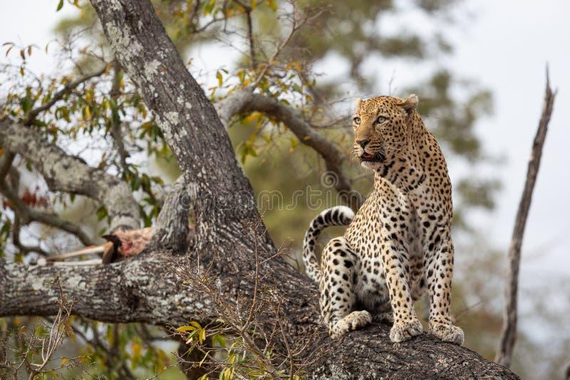 Um leopardo masculino senta-se perto de sua matança em uma árvore fotos de stock royalty free