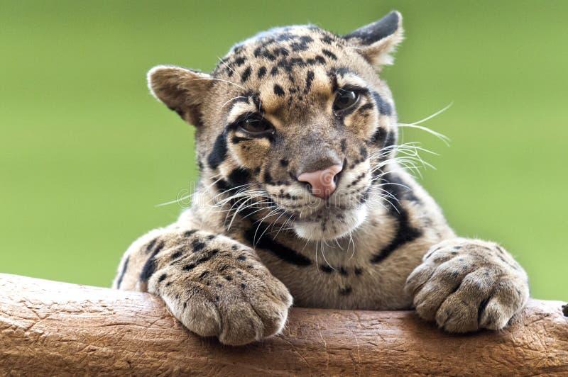 Um leopardo nublado fotos de stock