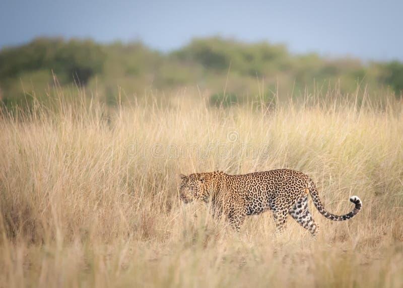 Um leopardo que espera pacientemente o gnu para cruzar o Nile River durante a migração imagem de stock royalty free