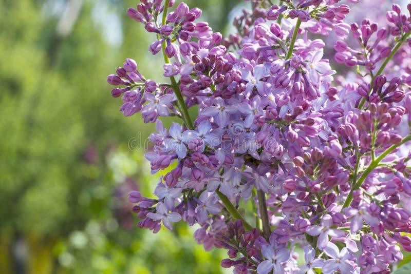 Um lilás cor-de-rosa em um ramo Um arbusto lilás da cor cor-de-rosa no parque fotografia de stock