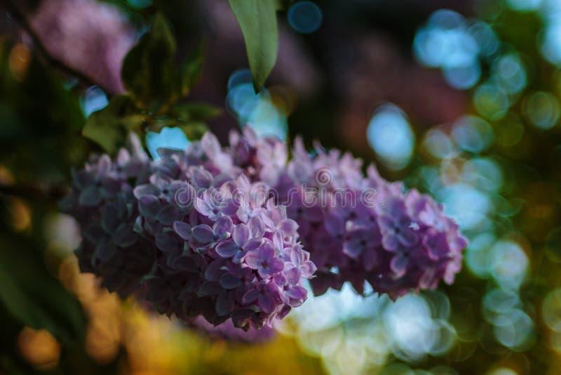 Um lilás nas luz do dia da primavera imagem de stock