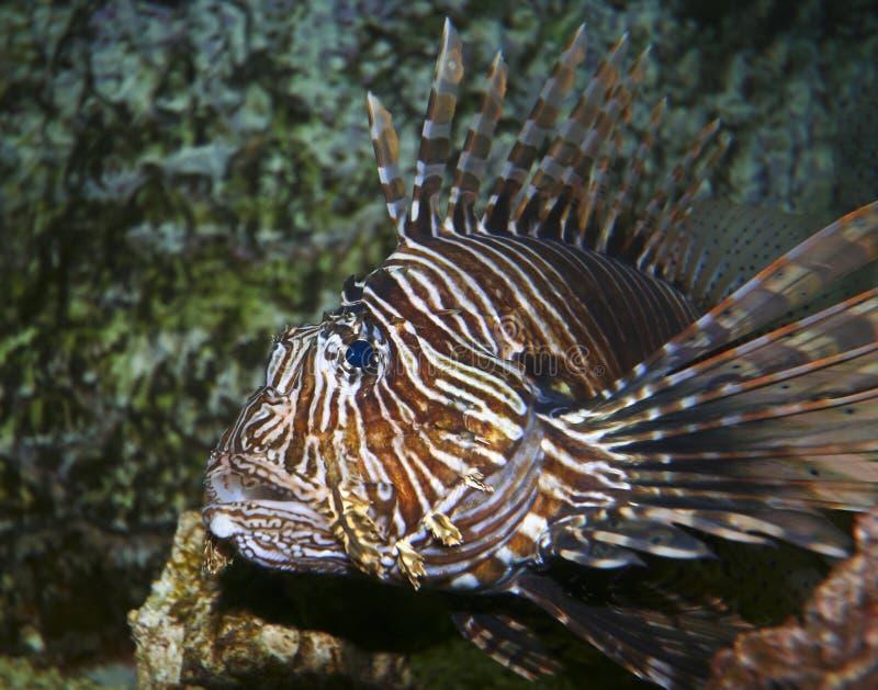 Um Lionfish Venomous, Pterois, com suas aletas Spiky fotografia de stock
