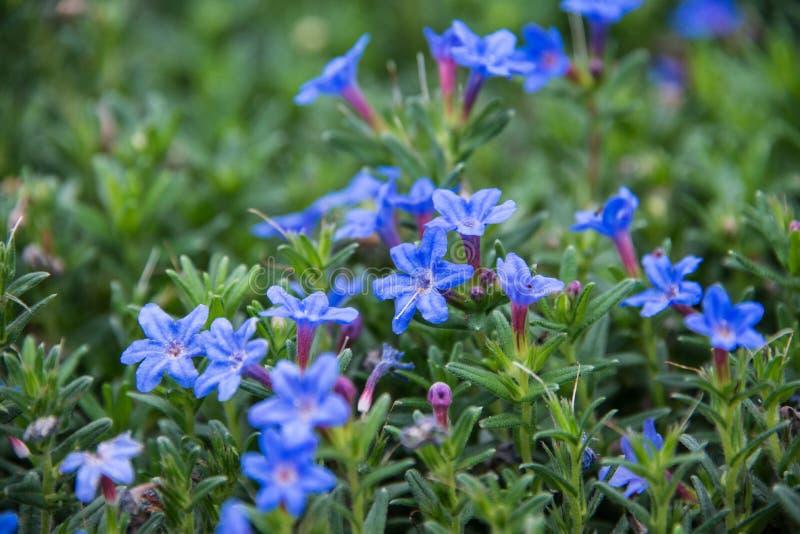 Um Lithodora azul bonito em um fundo verde do solo imagens de stock
