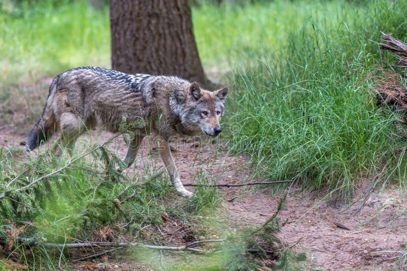 Um lobo que anda na floresta imagem de stock