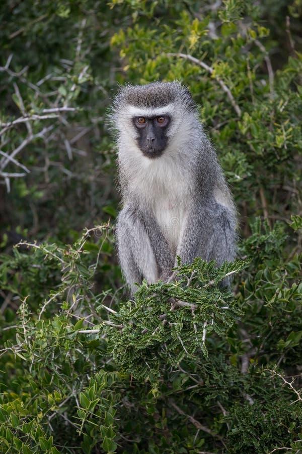 Um macaco de vervet adulto com os grandes olhos marrons e pele cinzenta foto de stock