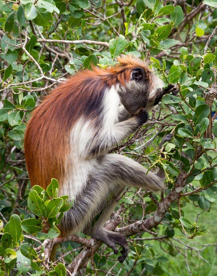 Um macaco está sentando-se no ramo de uma árvore Colobus do vermelho do ` s de Kirk África, Zanzibar imagem de stock