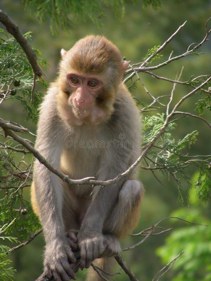 Um macaco pode imitar povos foto de stock royalty free