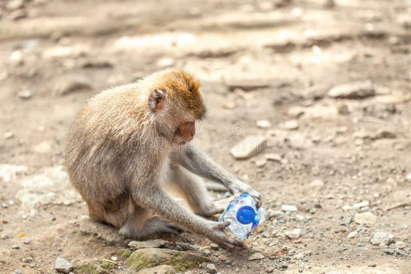 Um macaco que joga com uma garrafa da platina imagem de stock royalty free