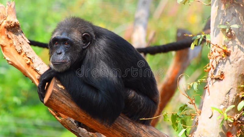 Um macaco que senta-se em um tronco de árvore 'que pensa ' fotos de stock royalty free
