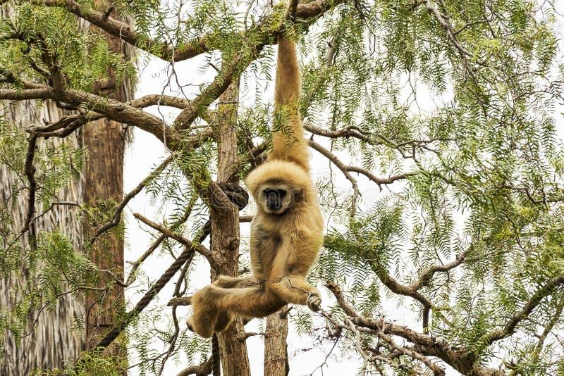 Um macaco selvagem pendura em um ramo de árvore fotos de stock