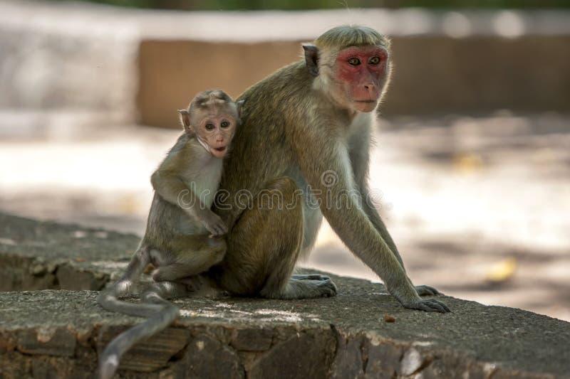 Um Macaque do Toque com seu bebê senta-se em uma parede de pedra no local antigo de Polonnaruwa em Sri Lanka central imagem de stock royalty free
