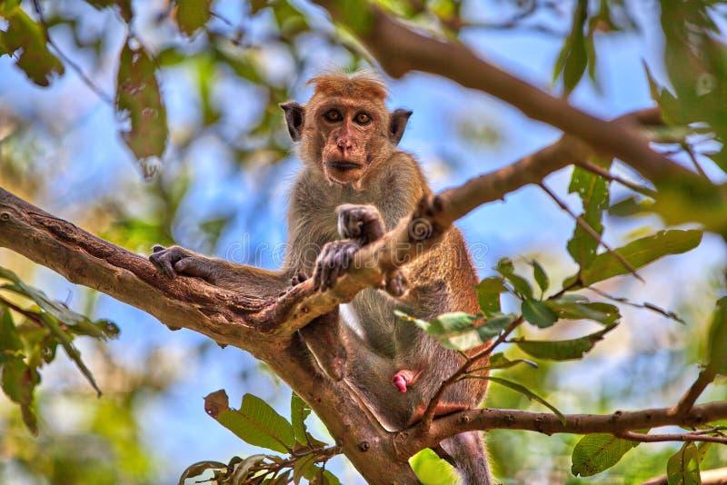 Um macaque do toque está sentando-se em uma árvore no Yala Nationalpark fotografia de stock royalty free