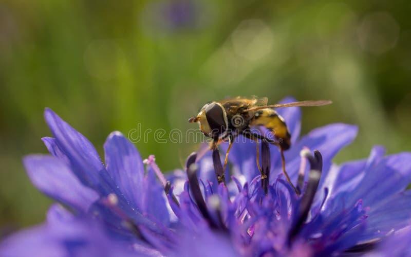 Um macro de um Hoverfly em uma flor roxa imagens de stock