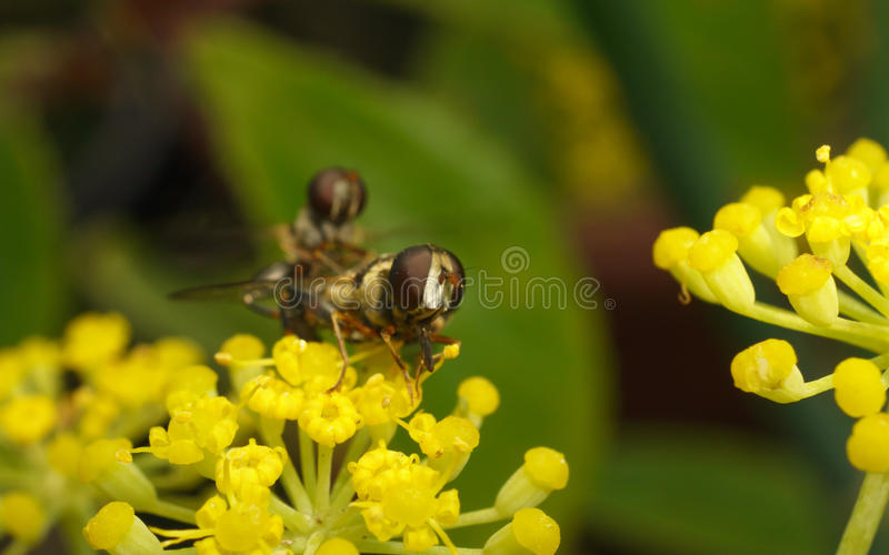 Um macro de um par de hoverflies que acoplam-se em uma flor amarela fotos de stock royalty free
