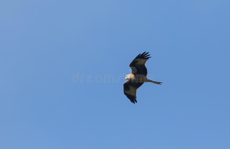 Um magnifico Kite Vermelho, Milvus Milvus, voando no céu azul imagem de stock royalty free
