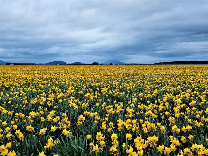 Um mar de Panoramiic de Daffodis amarelo fotografia de stock