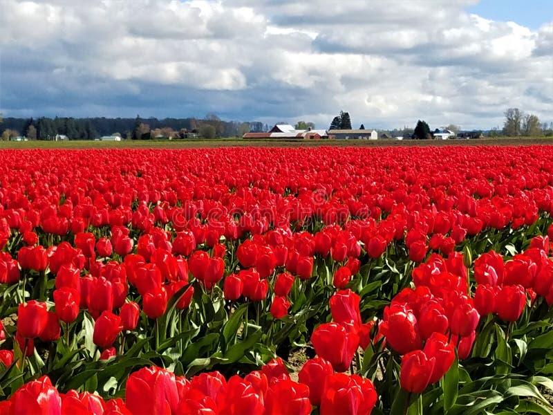 Um mar de Tulip Beauties vermelha fotos de stock